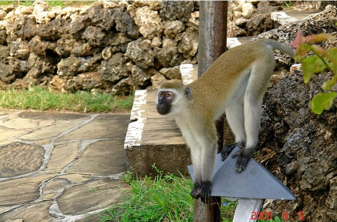 Water Hole Vervet Monkey